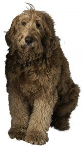 labradoodle Theo